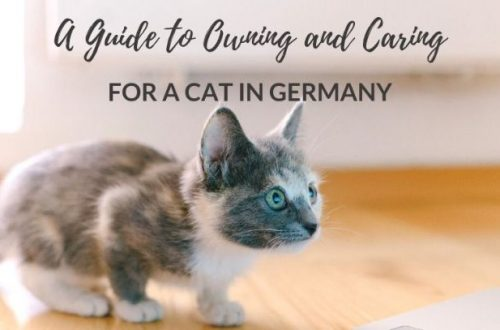 buy a maine coon cat in germany